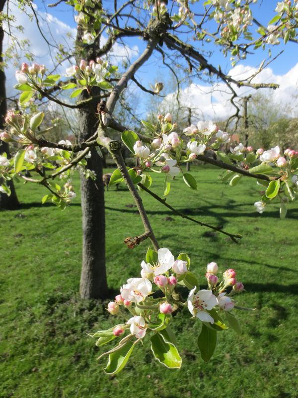 boomgaard-in-de-bloei